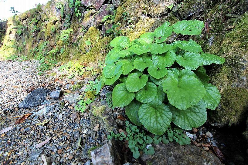 京丹波町妙楽寺石原古民家の湧き水の池に自生する葉ワサビ