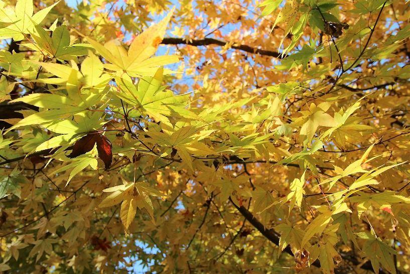 京丹波町妙楽寺石原古民家の黄色い紅葉アップ