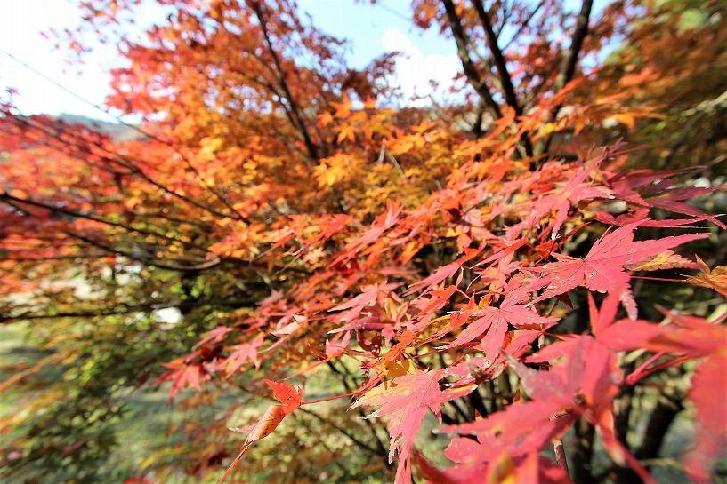京丹波町妙楽寺石原古民家の紅い紅葉アップ